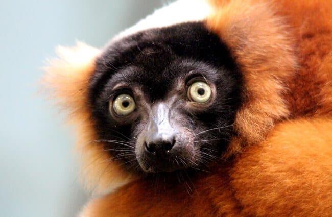 lémur características