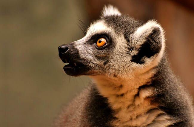 lemur home