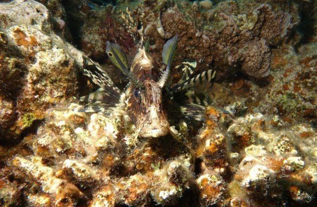 hábitat pez león