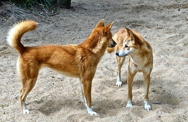 dingo reproducción