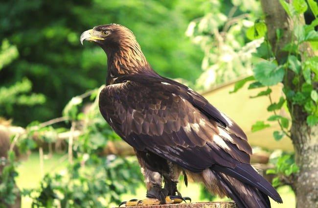 águila real hábitat