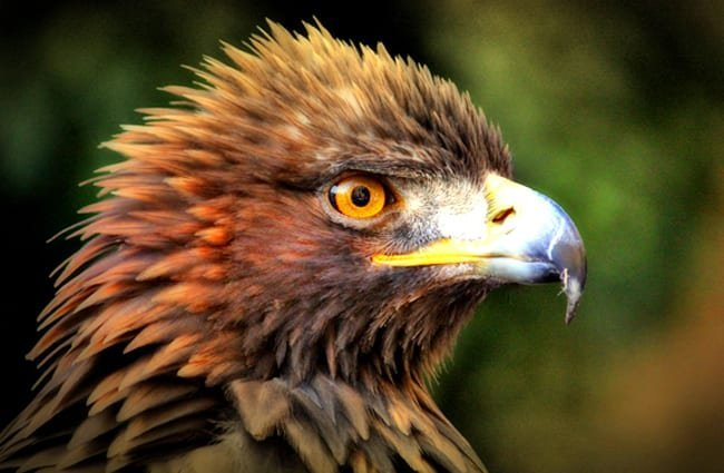 águila real home
