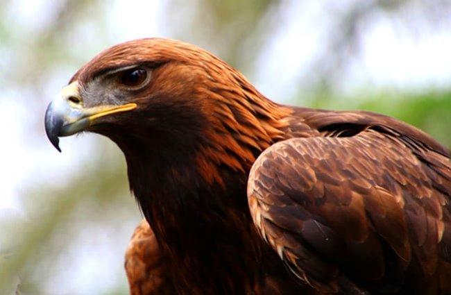 águila real características
