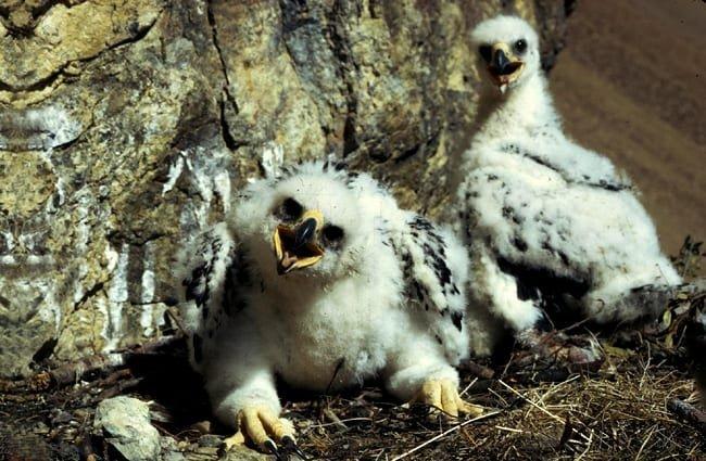 águila real reproducción