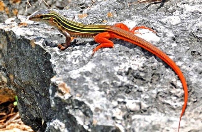 hábitat anolis