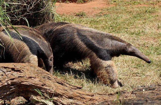 hábitat oso hormiguero