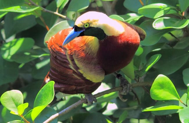 ave del paraíso características