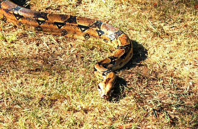 boa constrictor hábitat