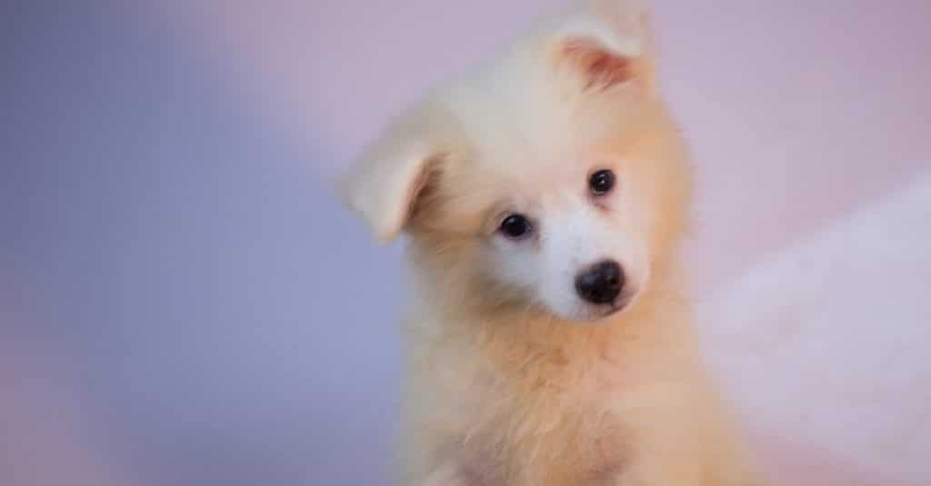 american Eskimo cachorro