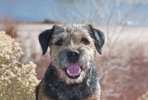 border terrier home