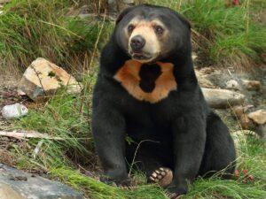 osos malayo alimentación