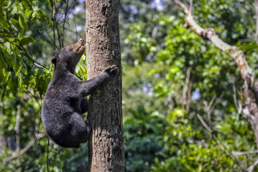 oso malayo hábitat